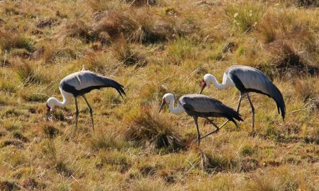 Wattled Cranes 5