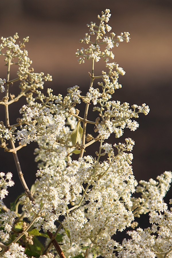 03 Flower Buddleja dysophylla 02 IMG_6018