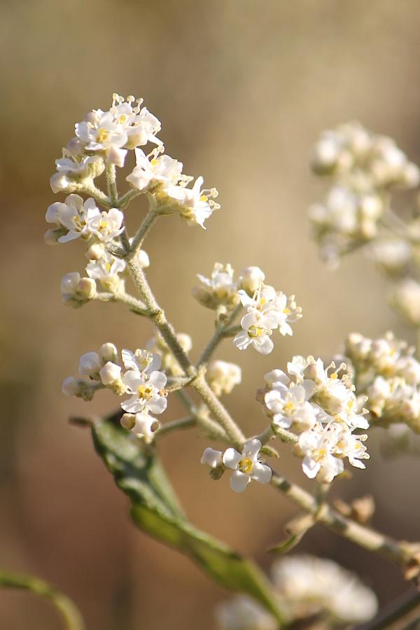 03 Flower Buddleja dysophylla 03 IMG_6017