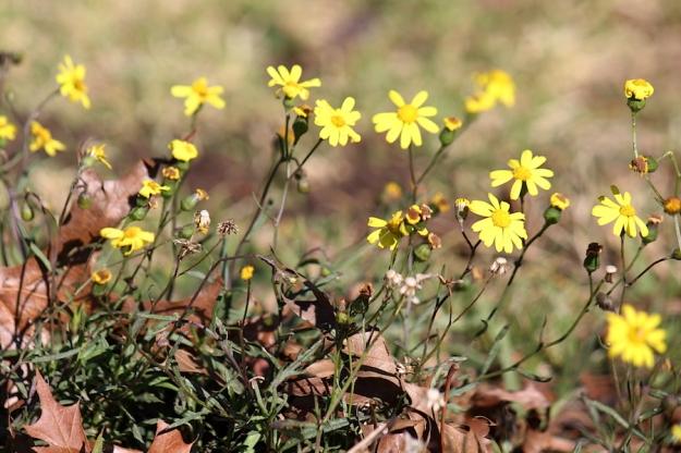 03 Flower Euryops laxus IMG_5998