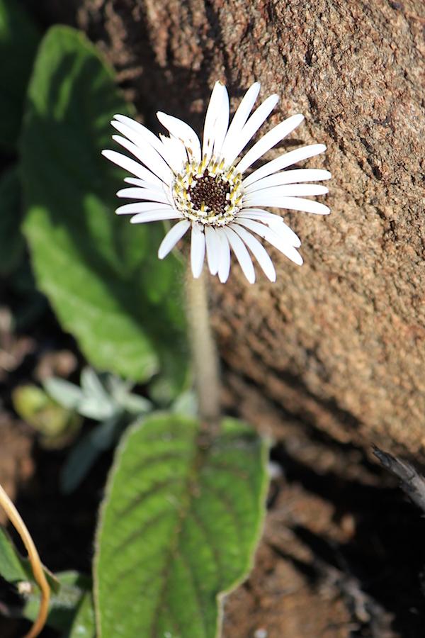 03 Flower Gerbera ambigua IMG_5933