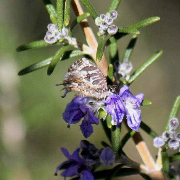 05 Invertebrates Butterfly Geranium Bronze Cacyreus marshalli IMG_6003