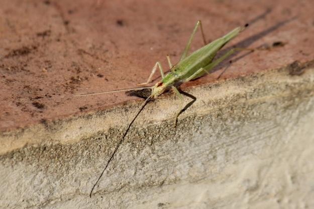 05 Invertebrates Katydid IMG_5913