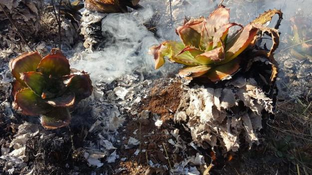 Burnt aloes