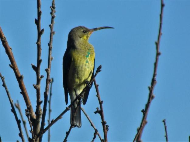 I think this could be a female malachite or juvenile sunbird