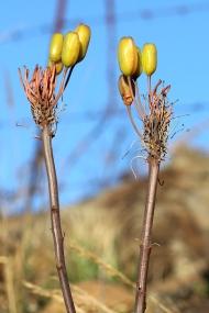03 Flora Flower Aloe maculata IMG_6328