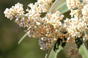03 Flora Flower Buddleja salvifolia IMG_6295