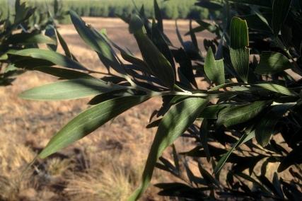 03 Flora Tree Acacia melanoxylon IMG_2297