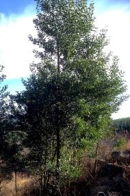 03 Flora Tree Acacia melanoxylon IMG_2298