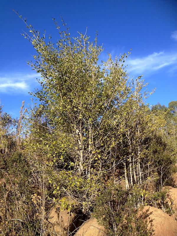 03 Flora Tree Canthium (now Afrocanthium) mundianum IMG_2301