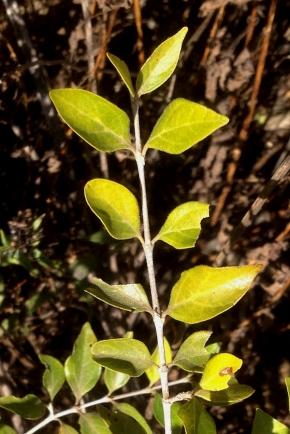 03 Flora Tree Canthium (now Afrocanthium) mundianum IMG_2302b