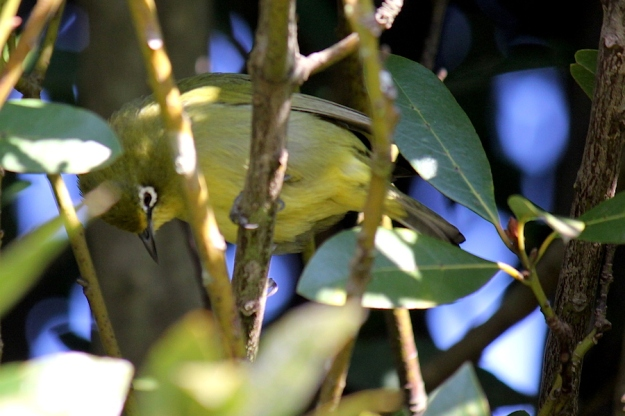 05 Bird Cape White-eye IMG_6321