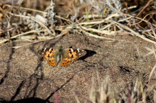 07 Invertebrate Butterfly Painted Lady IMG_6310