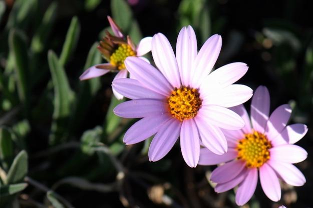 03-flora-flower-dimorphotheca-jucunda-img_6601