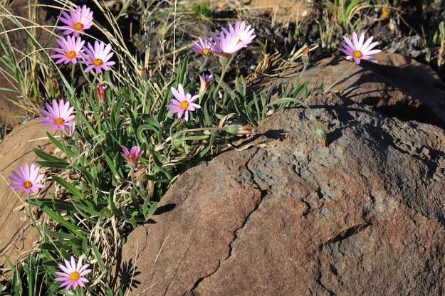 03-flora-flower-dimorphotheca-jucunda-img_6605