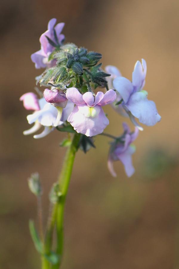 03-flora-flower-nemesia-caerulea-img_6492