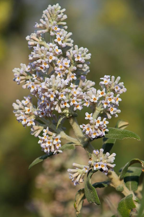 03-flora-tree-buddleja-salviifolia-img_6495