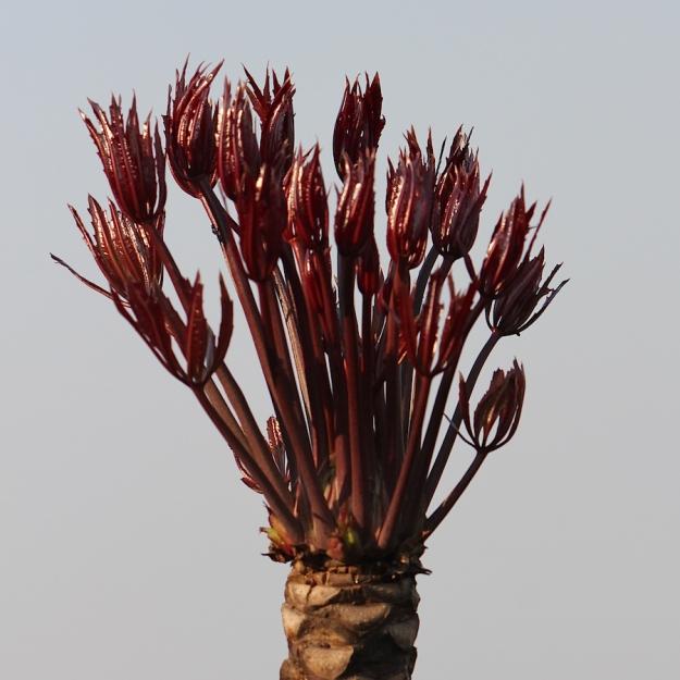 03-flora-tree-cussonia-paniculata-img_6511