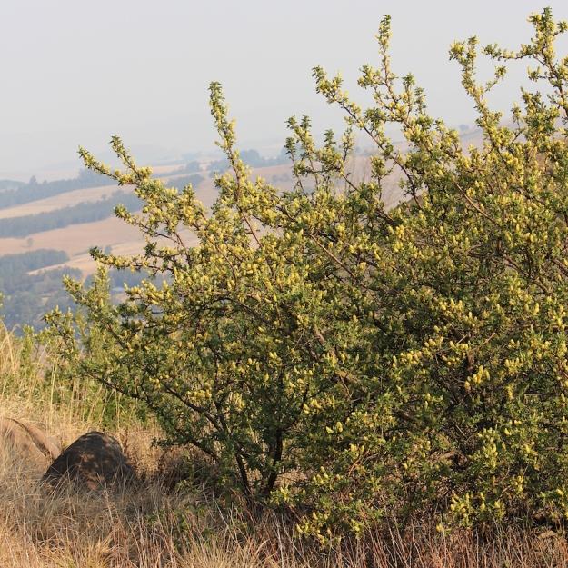 03-flora-tree-ouhout-leucosidea-sericea-img_6496