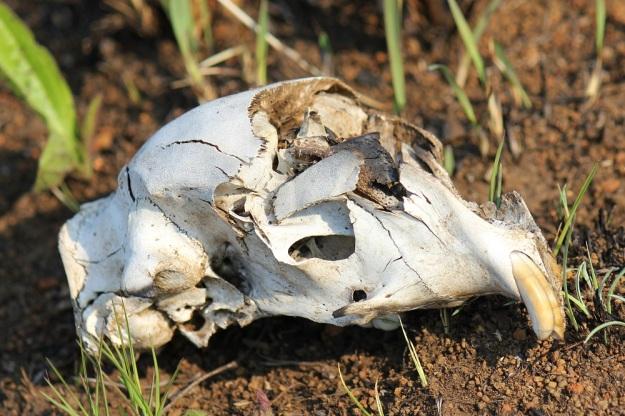 04-mammal-bones-porcupine-img_6489