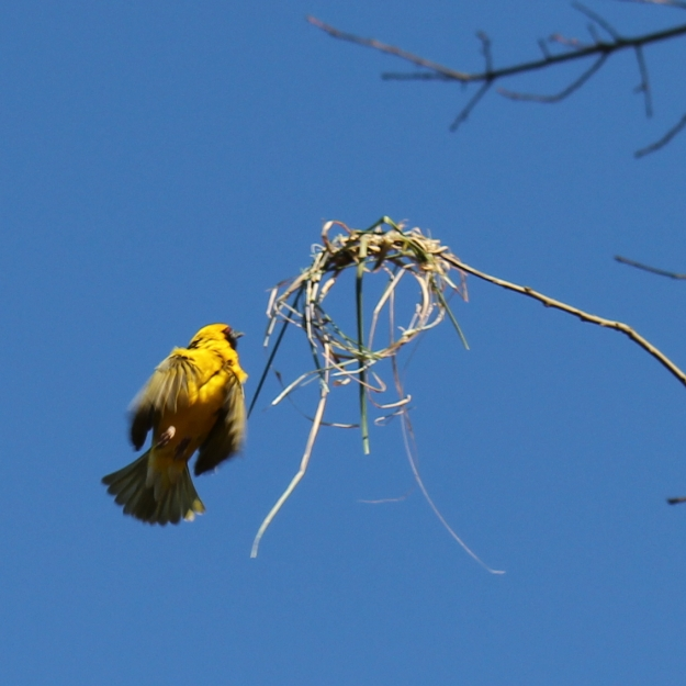 05-bird-village-weaver-img_6465
