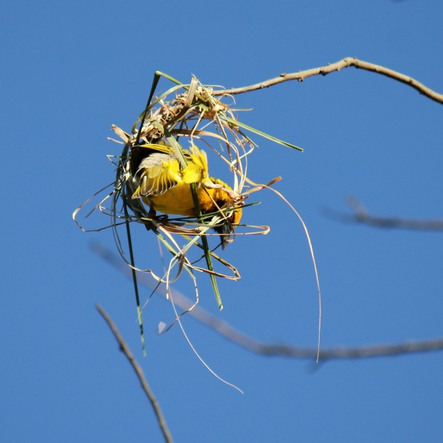05-bird-village-weaver-img_6473