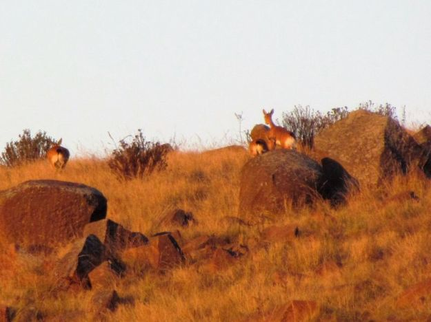 3 oribi running up the hill