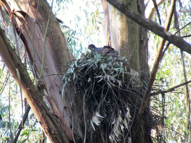 Black sparrowhawk female sitting on nest