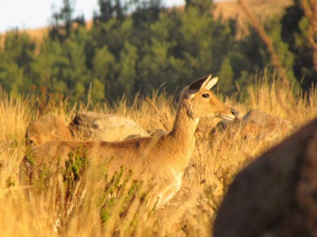 Female reedbuck