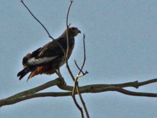 Jackal buzzard (I think)