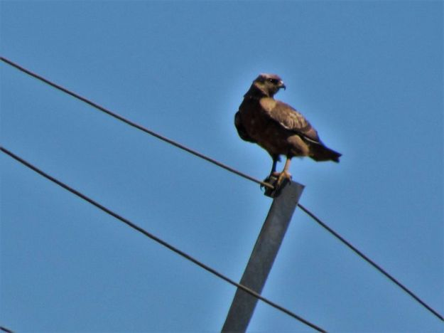 Not sure of this buzzard as very dark in color – taken in early august so not sure if steppe buzzards were around then