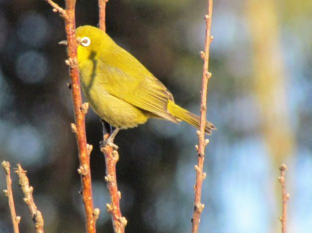 Yellow white eye