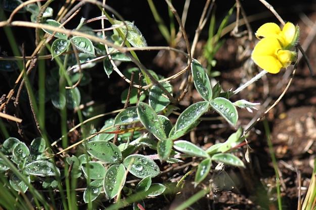 03-flowers-argyrolobium-marginatum-img_6850