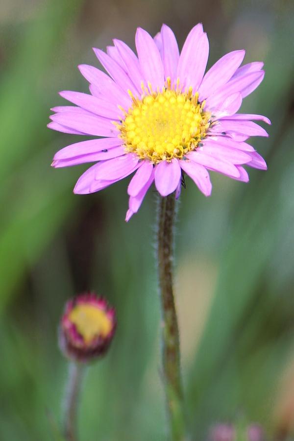 03-flowers-aster-bakerianus-img_6746