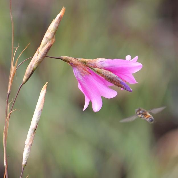03-flowers-dierama-cooperi-img_6783