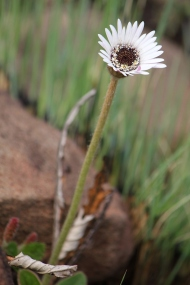 03-flowers-gerbera-ambigua-img_6768