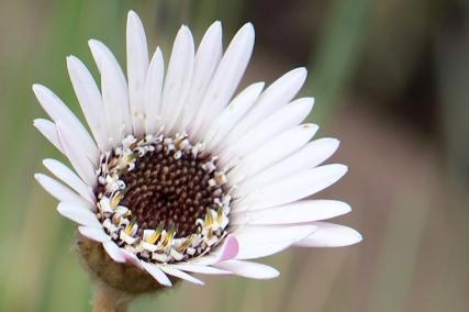 03-flowers-gerbera-ambigua-img_6768a