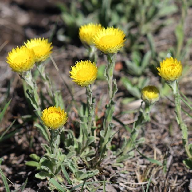 03-flowers-helichrysum-aureum-img_6837
