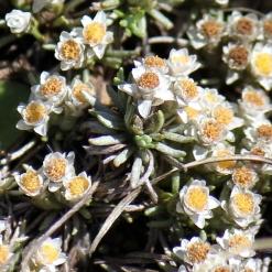 03-flowers-helichrysum-caespititium-img_6836