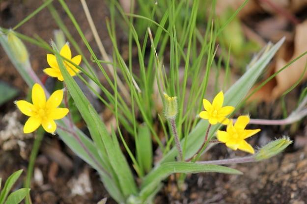 03-flowers-hypoxis-argentea-img_6911