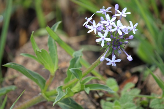 03-flowers-pentanisia-prunelloides-img_6764