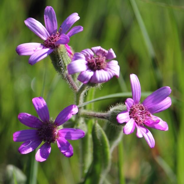 03-flowers-senecio-macrocephalus-img_6834