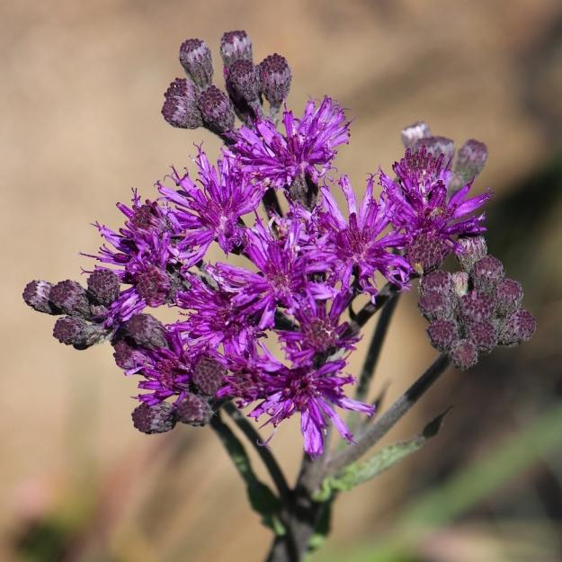 03-flowers-vernonia-hirsuta-img_6825