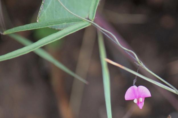 03-flowers-vihna-vexillata-img_6895