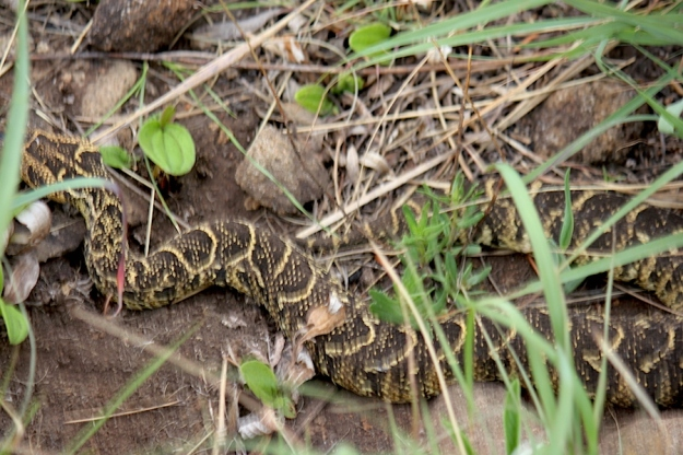 05-snake-puff-adder-img_6912