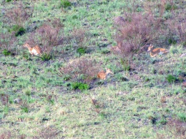 3-oribi-hiding-behind-bushes-on-a-very-windy-day