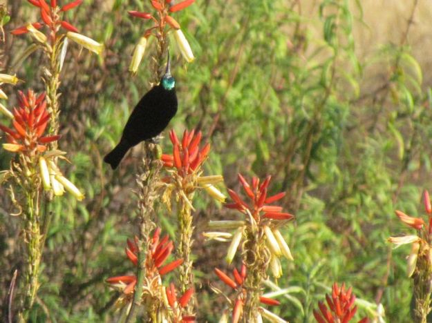 amythest-male-sunbird