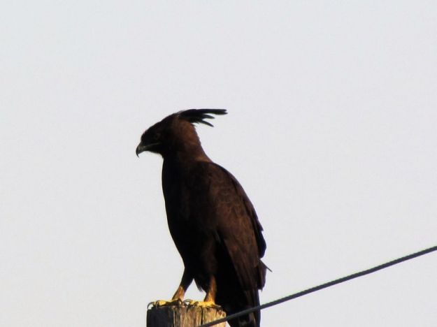 black-crested-eagle