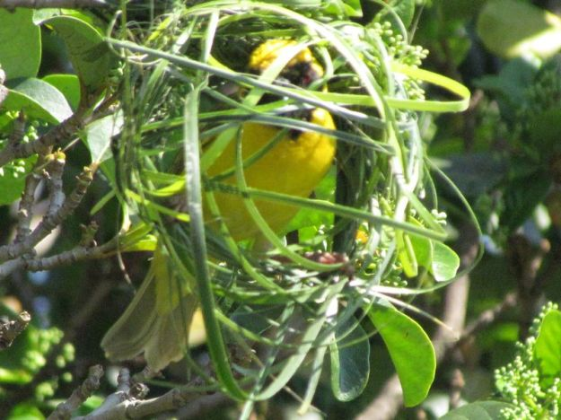 male-southern-masked-weaver-building-a-nest