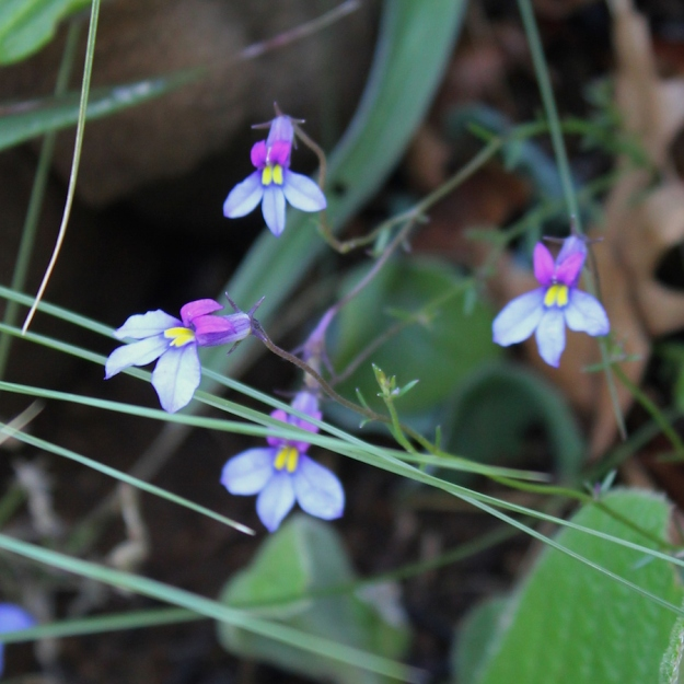 04-flowers-monopsis-decipiens-img_6969